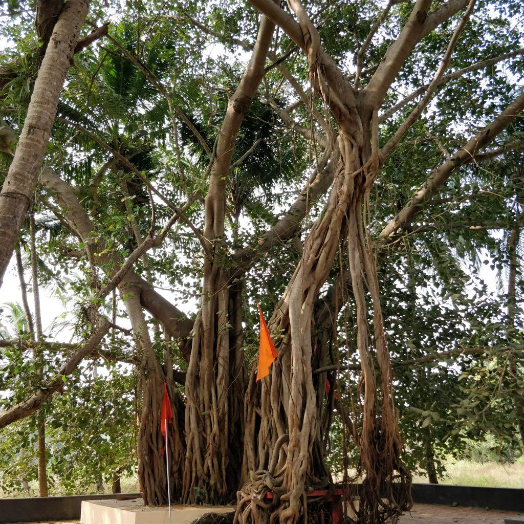 Banyan ağacı, Arambol