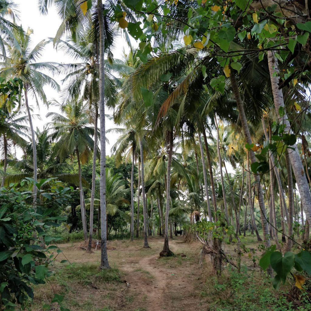 Keri'deki Palmiye ağaçları